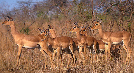 Impala Herd,Wildlife,Budget,Accommodation,Bakgatla Resort,Pilanesberg National Park